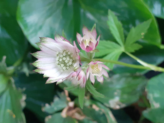 Picture of Astrantia major Mixed