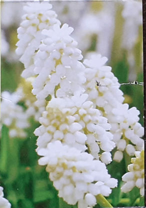 Picture of Muscari White Magic