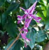Picture of Corydalis Pink