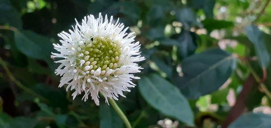 Picture of Jasione montana f. alba 'White Delight'