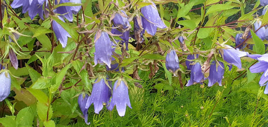 Picture of Campanula 'Van Houtei' - 5 pieces