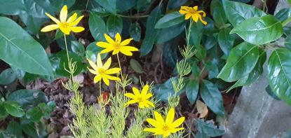 Picture of Coreopsis verticillata - 5 pieces