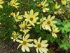 Picture of Coreopsis verticillata 'Moonbeam' - 5 pieces