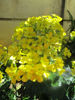 Picture of Ranunculus cortusifolius