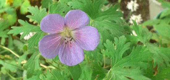 Picture of Geranium 'Annette'