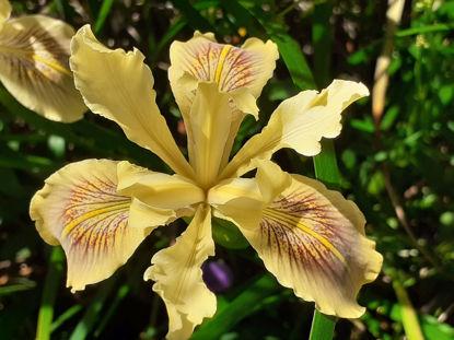 Picture of Iris Innominata