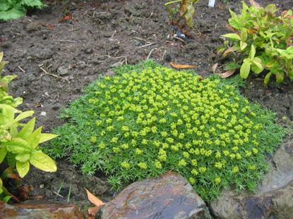 Picture of Azorella trifurcata