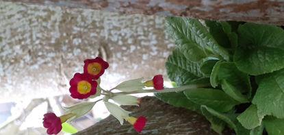 Picture of Primula veris - Red shade