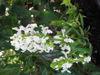 Picture of Stachys nivea alba