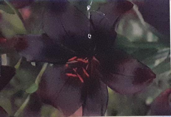 Picture of Lilium Black Charm