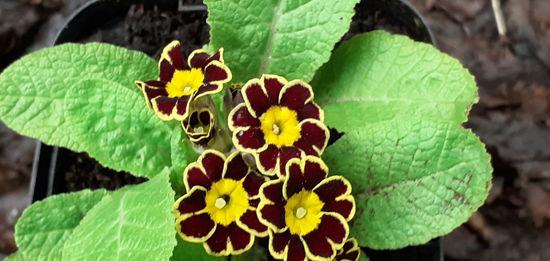 Picture of Primula victoriana - Lace