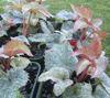 Picture of Helleborus argutifolius 'Pacific Frost'