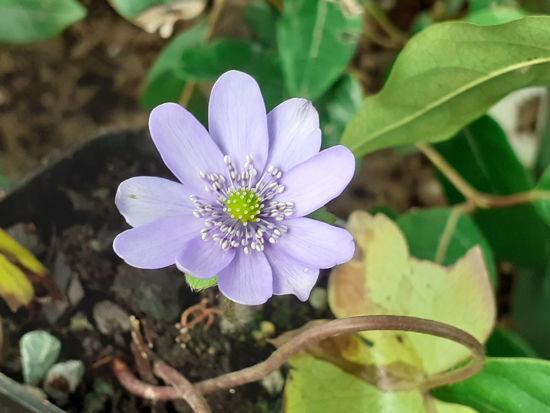 Picture of Hepatica transsilvanica