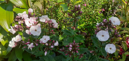 Picture of Phlox Paniculata 'Mother of Pearl'