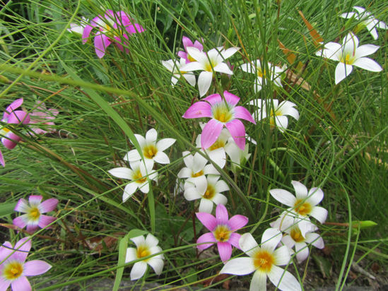 Picture of Romulea Pink & White