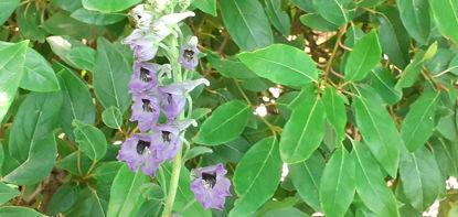 Picture of Delphinium vestitum