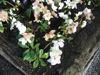 Picture of Helleborus niger ' White Magic'