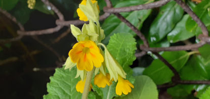 Picture of Primula Veris Mixed