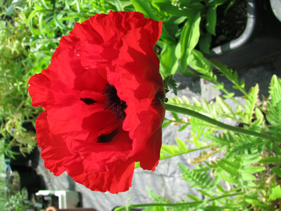 Picture of Papaver orientalis 'Beauty of Livermere'