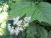Picture of Rodgersia podophylla