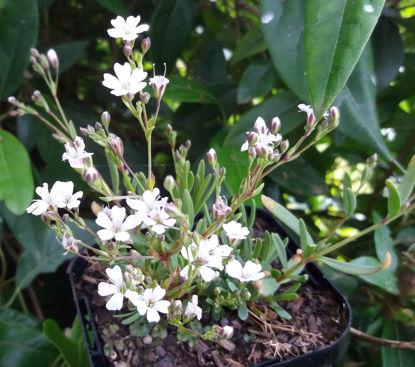 Picture of Gypsophila repens 'Alba'