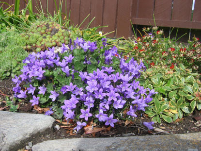 Picture of Campanula 'Resholdt's Variety'