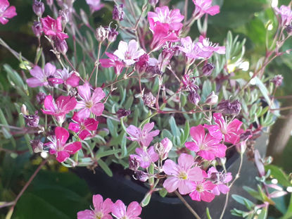 Picture of Gypsophila 'Letchworth Rose'