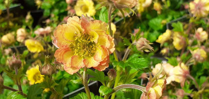 Picture of Geum Tempo Yellow
