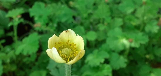 Picture of Anemone magellanica