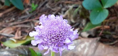 Picture of Scabiosa columbaria