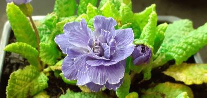 Picture of Primula Barnhaven - Purply Blue