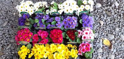 Picture of Primula Wanda - mixed
